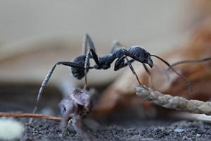 Fourmis (Formicidae)