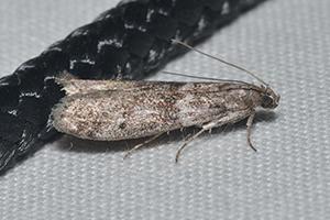 Teigne (Ephestia kuehniella)